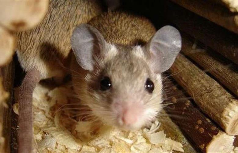 Мыши в каркасном доме