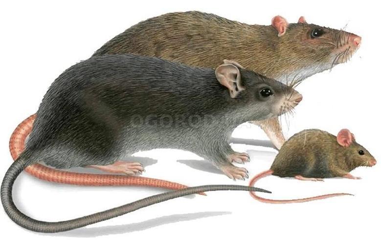 Грызуны: мыши, крысы в доме